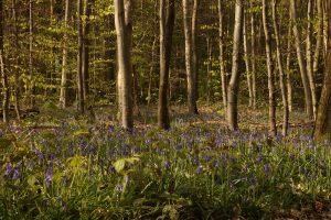 Forêt de Lyons, jacinthes sauvages